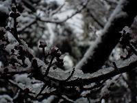 梅の雪.JPG