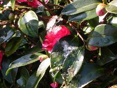椿の氷.JPG