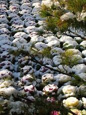 雪の中の葉牡丹.JPG